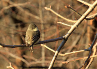 Eastern Phoebe, Montrose, Chicago IL