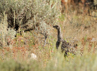 Greater Sage-Grouse, Grand Teton NP