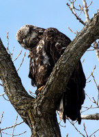 Preening Eagle Closeup