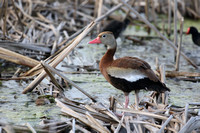 Black-Bellied Whistling-Duck at Brazoria NWR in Texas.