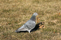 Rock Pigeon at Nelson Lake FP in Batavia IL.
