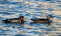 Wood duck pair, North Pond, Chicago, IL