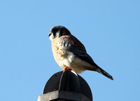 American Kestrel Male, Montrose Harbor, Chicago, IL