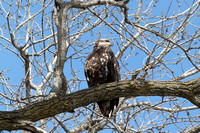 Bald Eagle Juvenile, IA